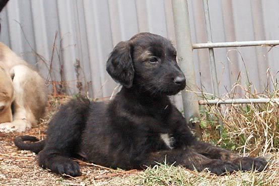 Hoff 7 weeks old
