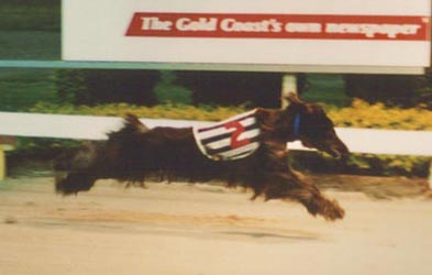 Winning the Afghan race at the Gold Coast Greyhound track