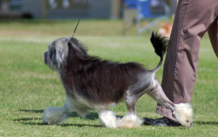 Crumpet 1st Junior Bitch, Lowchen Club NSW Easter 2011